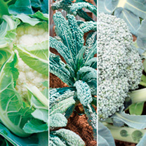 Brassica Plants - Collection