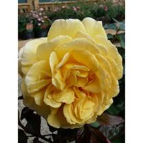 Rose Plant - Breathtaking