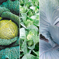 Cabbage Plants - Mixed Collection