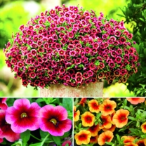 Calibrachoa Superbells - Twin Pack