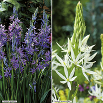Camassia Bulbs - Twin Pack