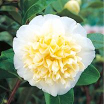 Camellia Plant - Jurys Yellow