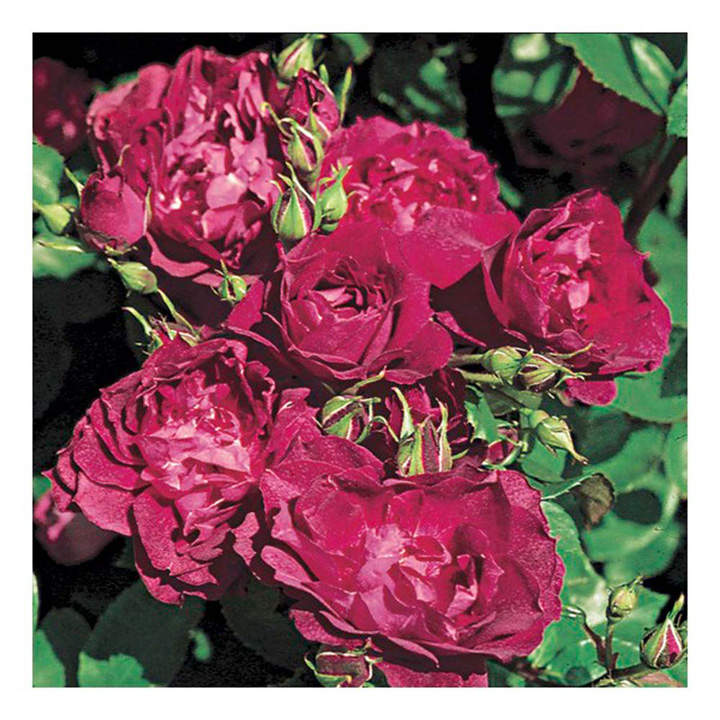 Rose Plant - Cardinal Hume