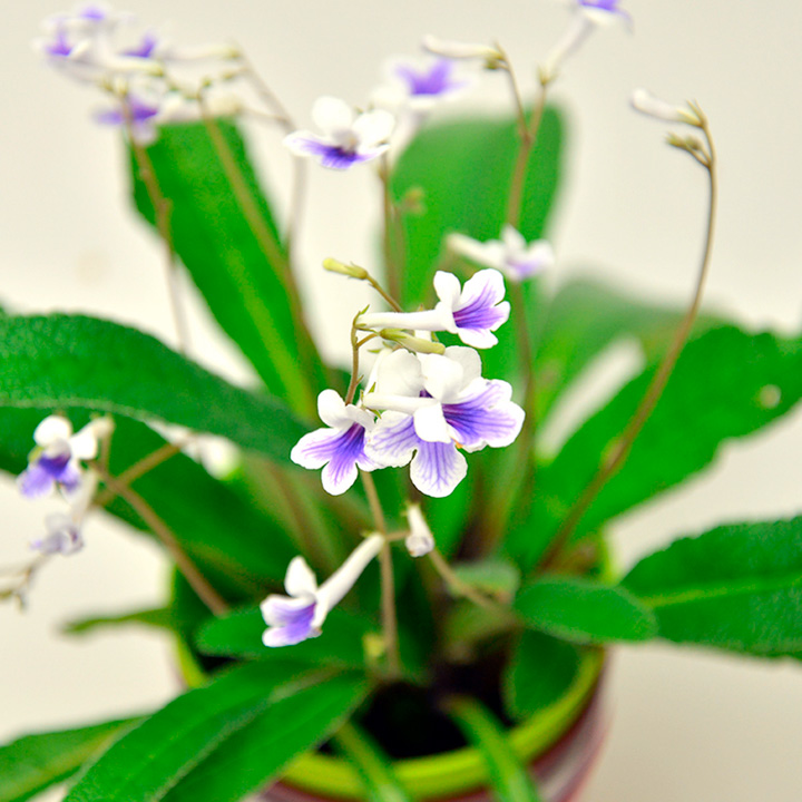 Streptocarpus Plant & Pot - Crystal Ice
