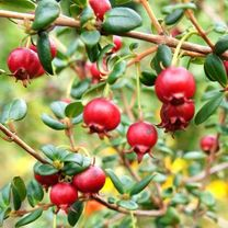 Chilean Guava Plants - Kapow