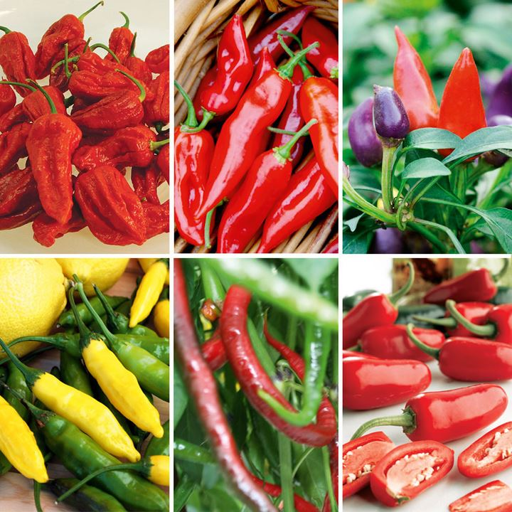 Pepper Chilli Plants - Festival Ultimate Collection