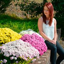 Chrysanthemum Potted Plants