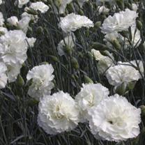 Dianthus Plants - Collection