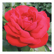 Rose Plant - Dublin Bay