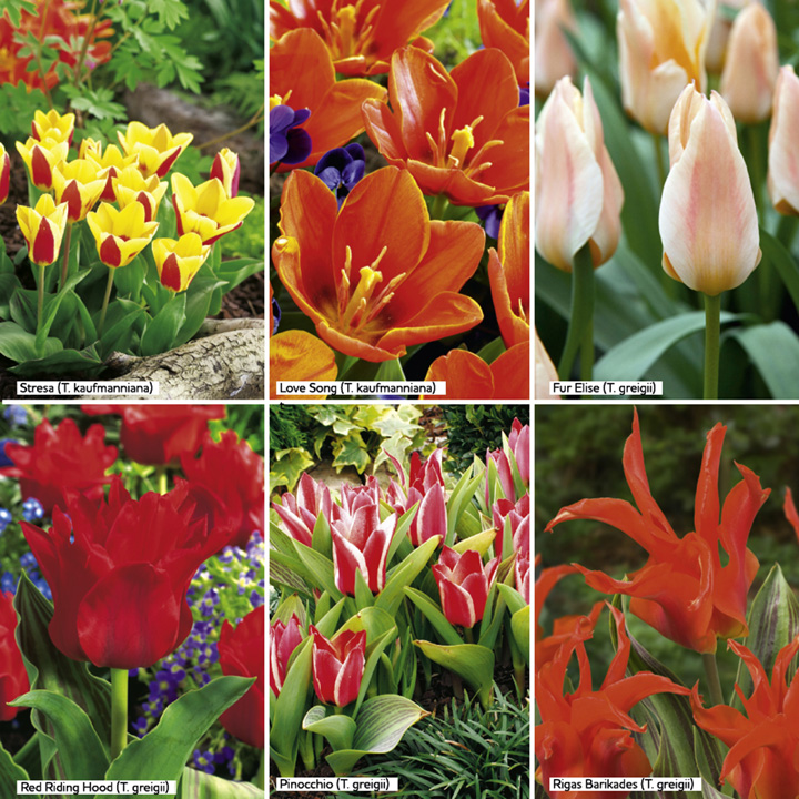 Tulip Bulbs - Dwarf Collection