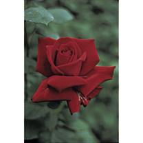 Rose Plant - Ena Harkness