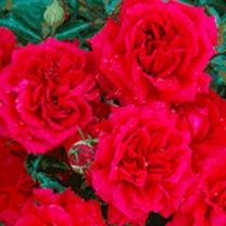 Rose Plant - Fetzer Syrah Rose