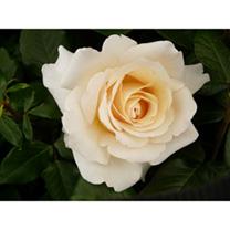 Rose Plant - Commonwealth Glory