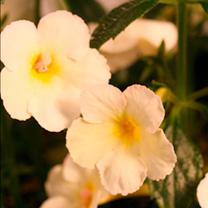 Achimenes Plant Golden Butterfly