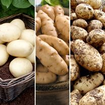 Seed Potatoes - Gourmet Patio Growing Kit - Small
