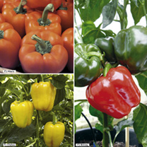 Pepper Sweet Grafted Plants - Collection
