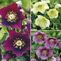 Helleborus Plants - Collection