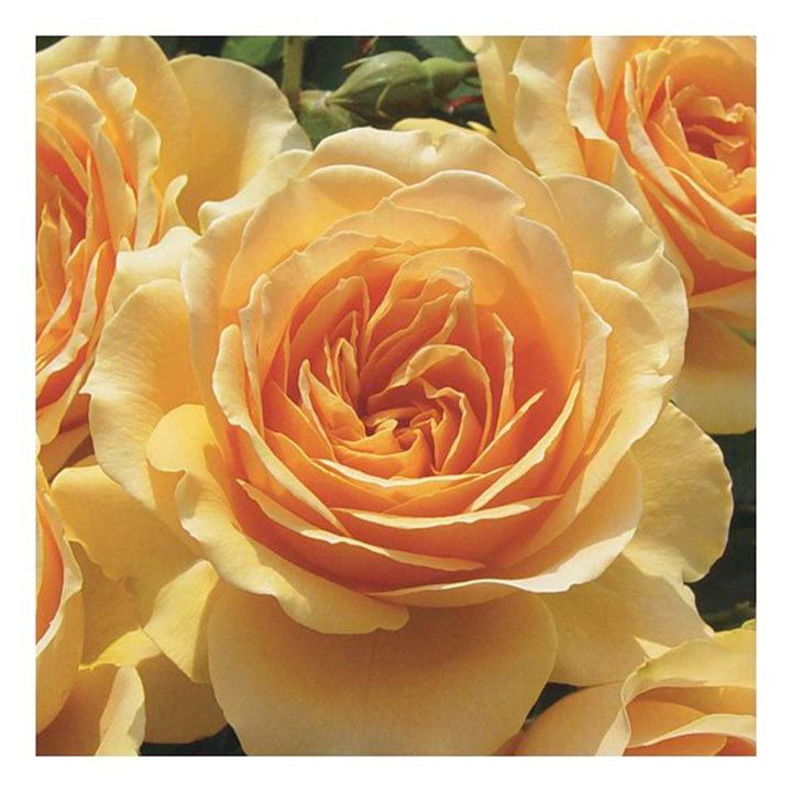Rose Plant - Henrietta Barnett