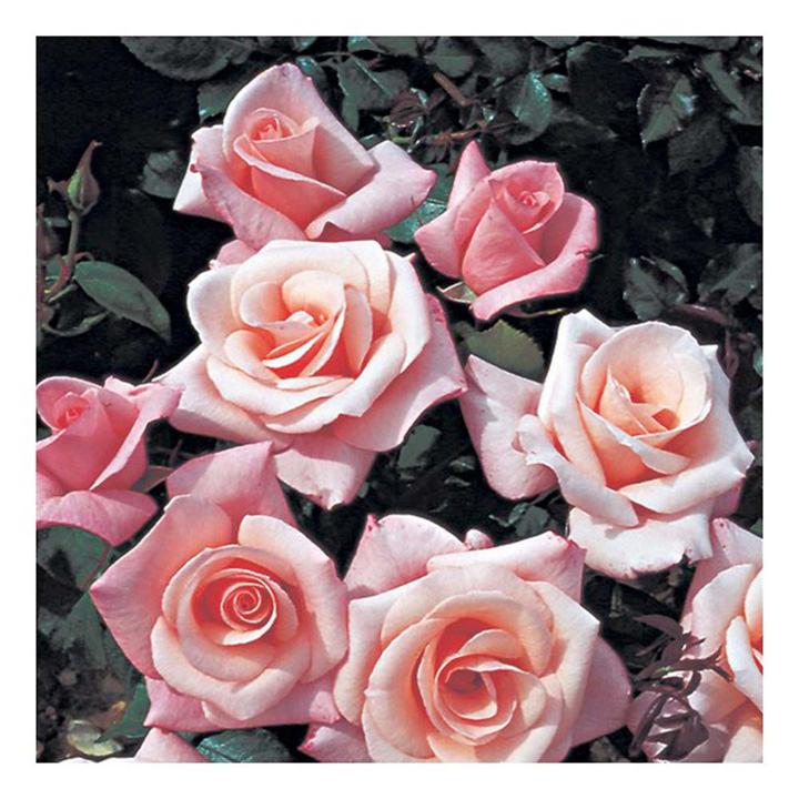 Rose Plant - High Hopes