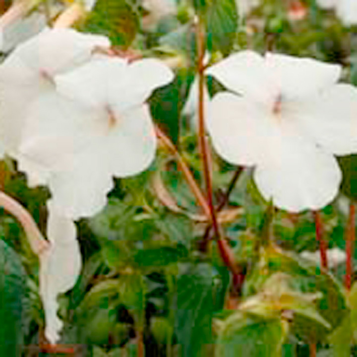 Achimenes Plant - Jay Dee Large White