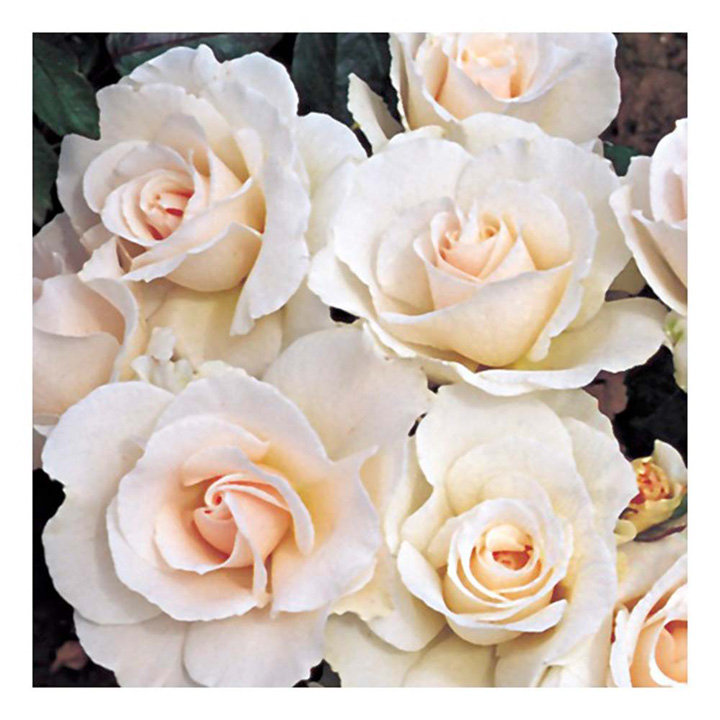 Rose Plant - Margaret Merril