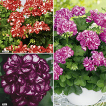 Geranium Mexica Plants - Collection