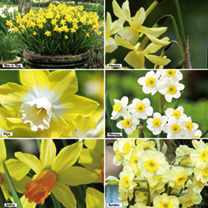 Daffodil Bulbs - Miniature Collection