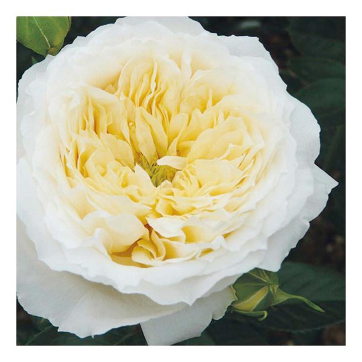 Rose Plant - Patricia Kent