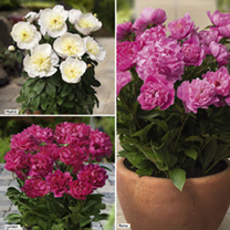 Peony Plants - Collection