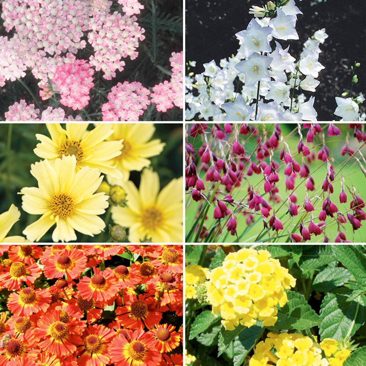 Perennial Plants - Summer  Collection