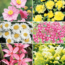 Perennial Plants - Late Summer Collection