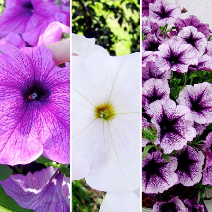 Petunia Plants - Titan