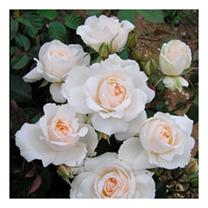 Rose Plant - Princess of Wales