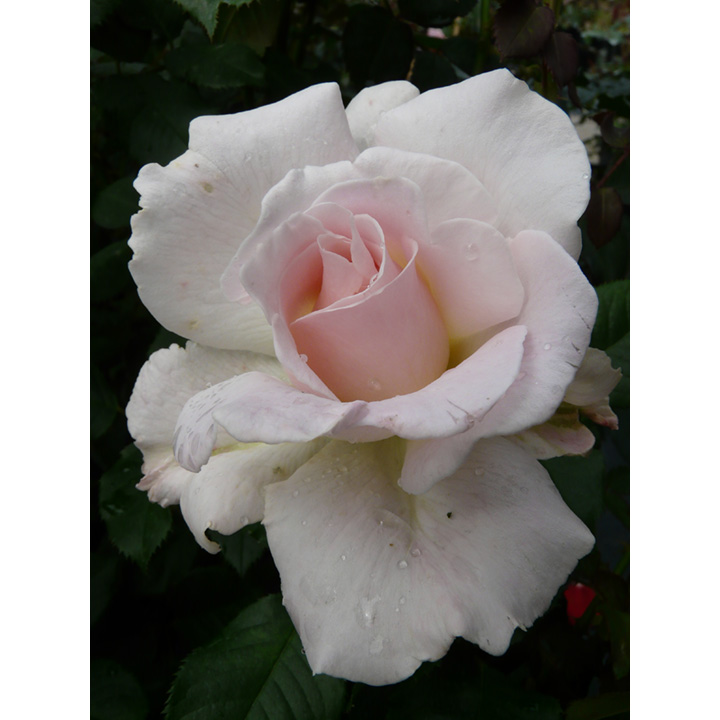 Rose Plant - Renaissance