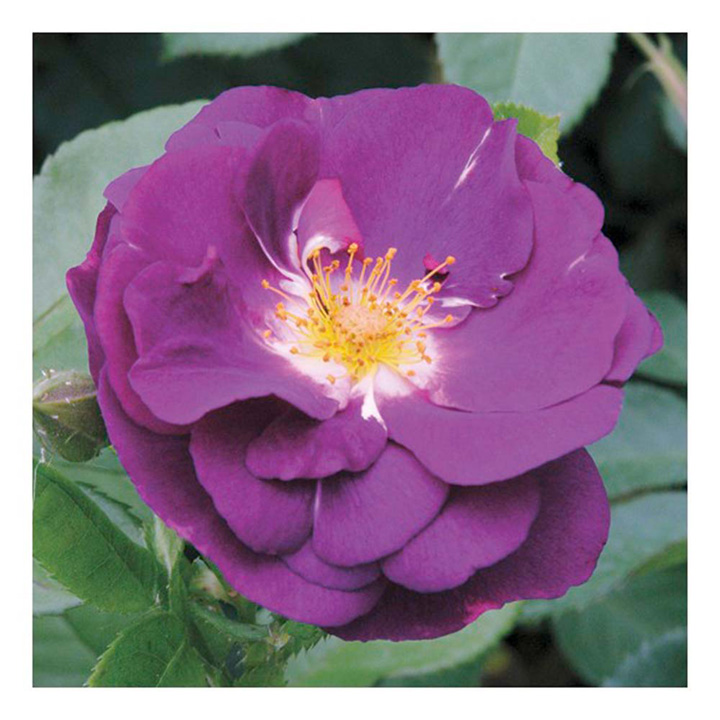 Rose Plant - Rhapsody in Blue