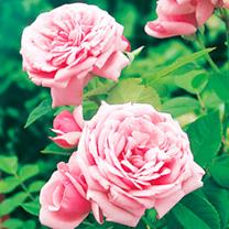 Rose Plant - Pearl