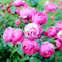 Rose Plant - Pomponella