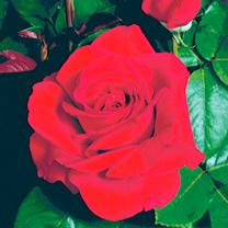 Rose Plant - Ruby Wedding