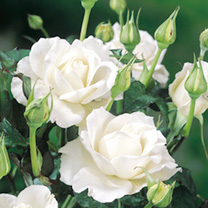 Rose Plant - Silver Anniversary