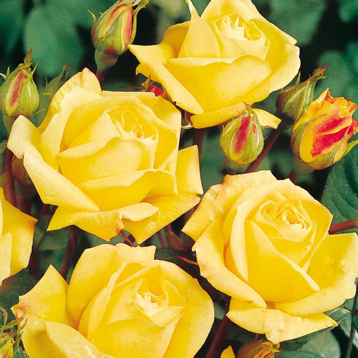 Rose Plant - Arthur Bell
