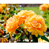 Rose Plant - Golden Beauty