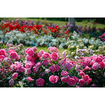 Rose Super Selection 6 Varieties Br
