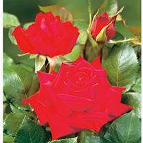 Rose Plant - Loving Memory