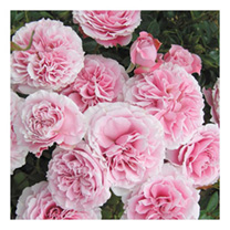 Rose Plant - Rossetti Rose