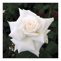 Rose Plant - Royal Philharmonic