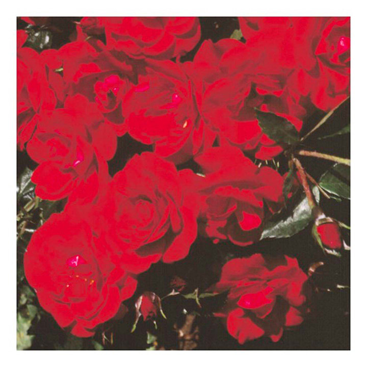 Rose Plant - Ruby Anniversary