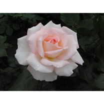 Rose Plant - Bloom of Ruth