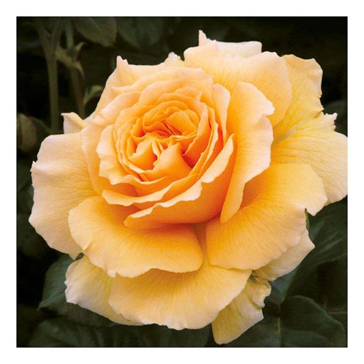 Rose Plant - Salvation
