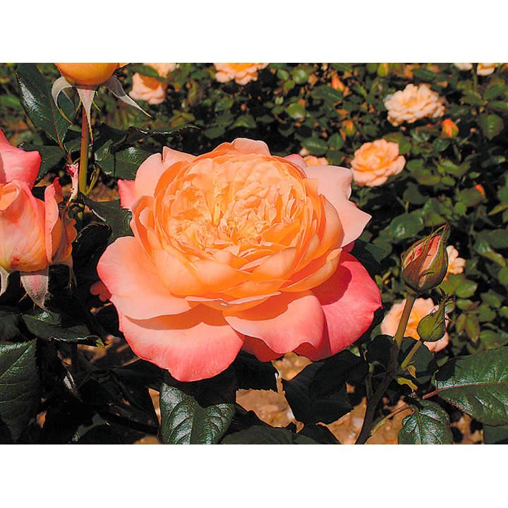 Rose Plant - Samaritan