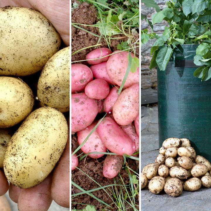 Seed Potatoes - Sarpo Potato Kit